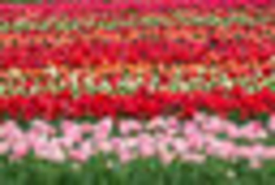holland-flower-field-1-de