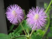 mimosapudica-1