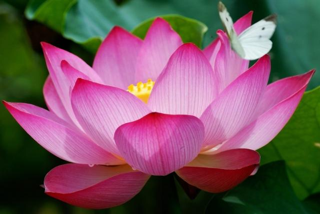 egyptian lotus flower