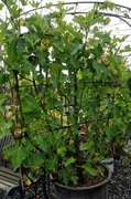 Grow Tree Fruits in Containers
