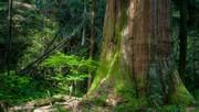 Big Trees Weekend: Exploratory Tree Climbing