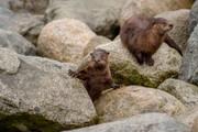 Slip-Sliding with Otters