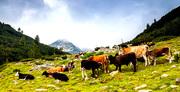 Кисело мляко - стадо крави на Пирин  2