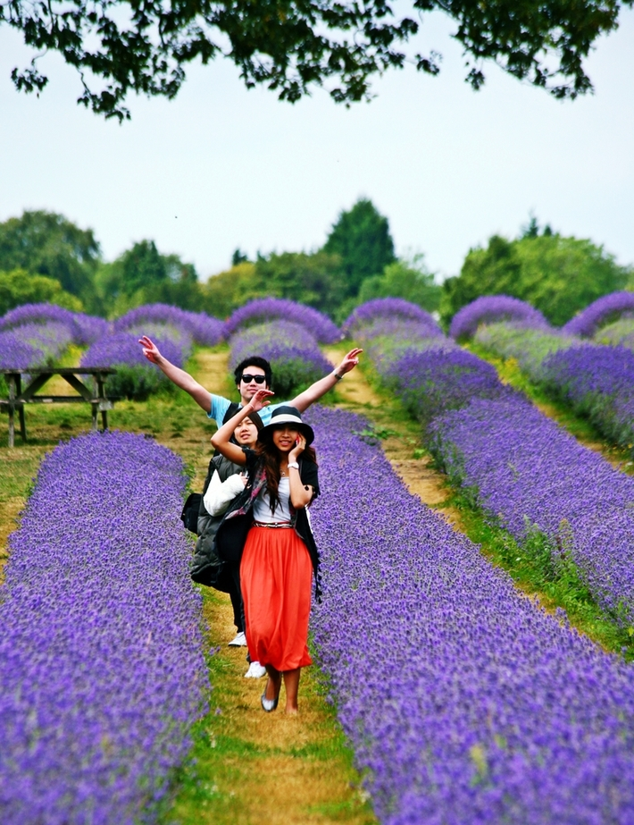 lavender farm 2 147aa