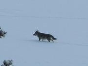 Coyote with fish at Oxbow Bend