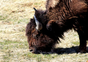 Bison Cow 2