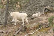 Goats in Custer State Park