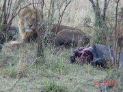 AFRICA, MALE LION ON A WILDEBEEST KILL