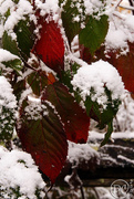 Red leaves and Snow