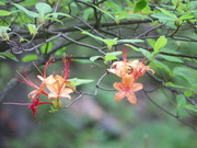 Bright Orange Flowering Tree
