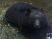 Grand Dad Bear in Leconte Creek