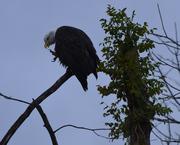 eagles 148