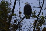 eagles 045