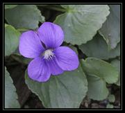 Blue Violet