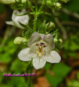 Penstemon digitalis   foxglove Beardtongue