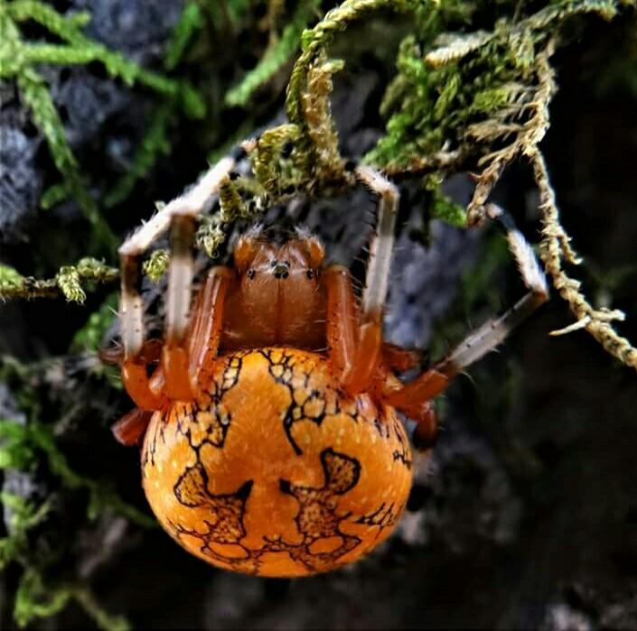 Marble orb weaver