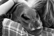 A horse's nose...
