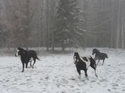 horsesfog 004