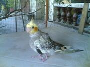 our special cockatiel --TOD