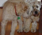 My wheaten terriers