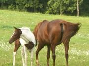 baby horse 002