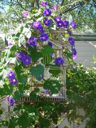 morning glory in our yard