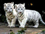 white-tiger-0001