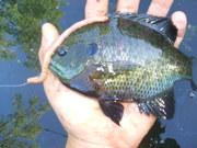 Green Lake, WI Bluegills