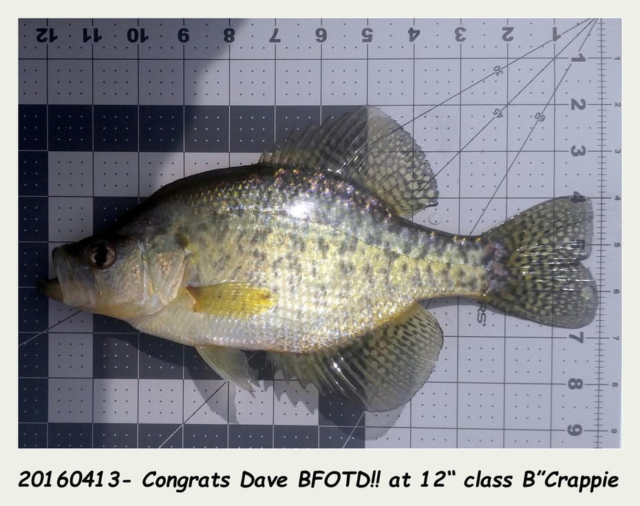 """0413161439a- BFOTD!! B'Crappie at 12"""" class"""