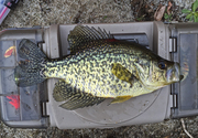 4-8-16.11  - nice fat 12in. black crappie at Twin Lakes North 12.10pm