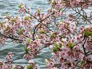 Cherry Blossom Closeup1