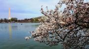 Cherry Blossoms at Tidal Basin5