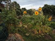 Sunflowers in my summer garden