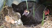 GE Hens give birth