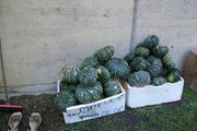 our first pumpkin harvest