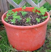 sugarsnap pea seedlings