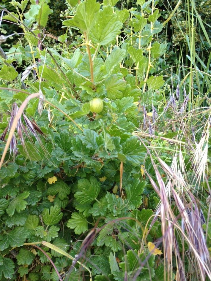 Wild gooseberry bush