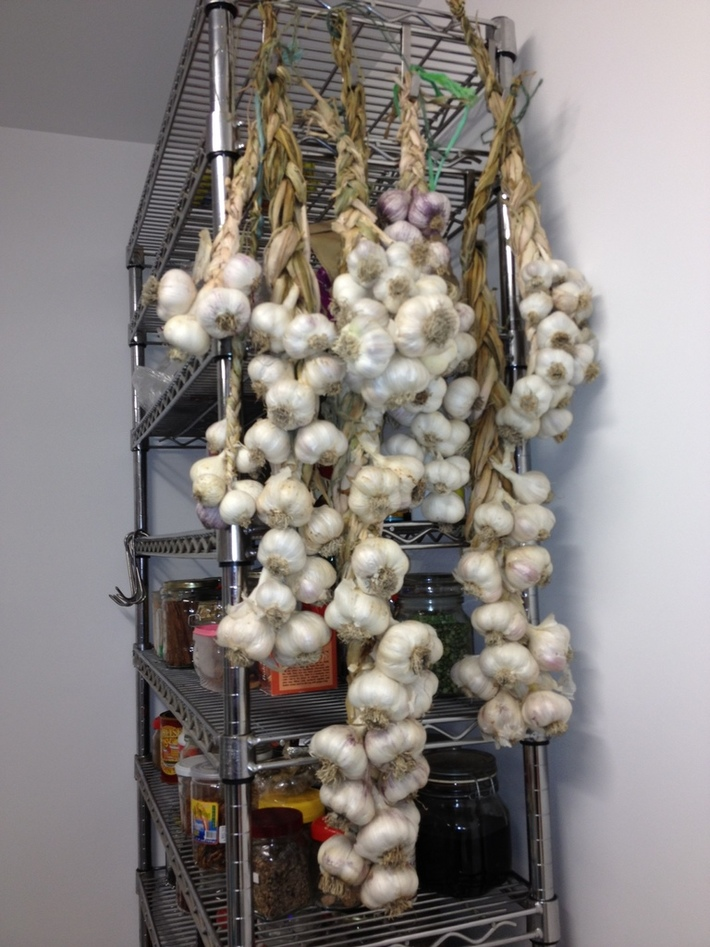 2012 garlic harvest