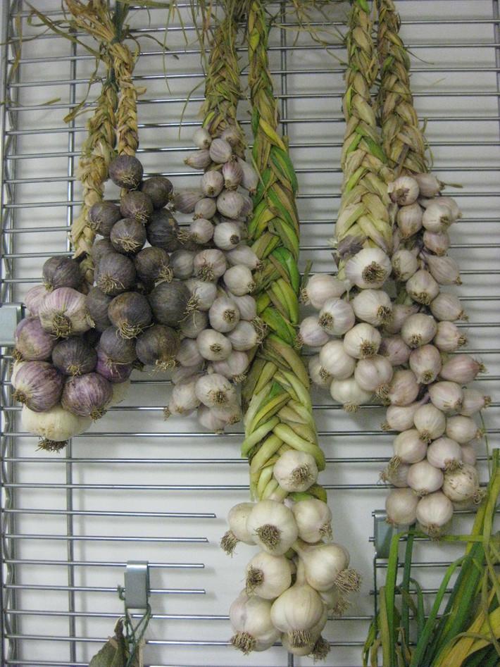 Garlic growing stock