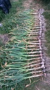 Harvesting more garlic