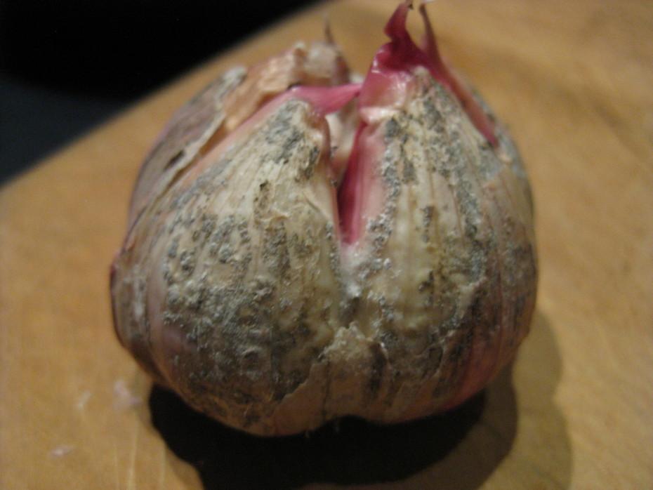 Garlic bulb with botrytis rot