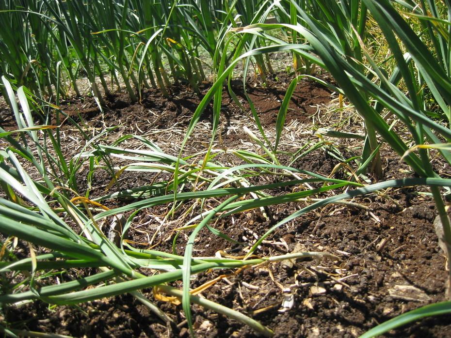 Garlic ready to start harvesting