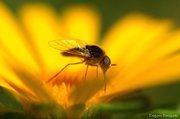 Έντομο στή Μαργαρίτα
