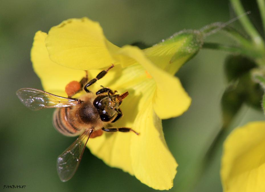 Μεγάλη μου Μέλισσα