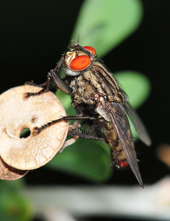 Η πολύ (αγαπητή) σε όλους μας μύγα
