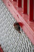 P1170357bweb-babysparrow