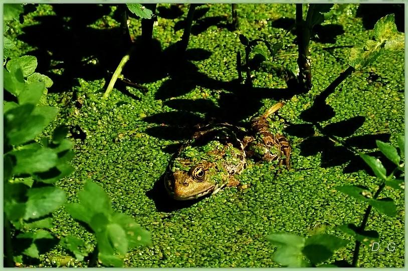 Ο ντροπαλός βάτραχος