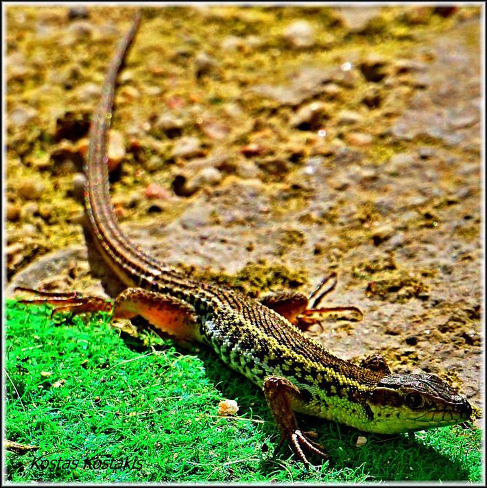 Snake Eyed Lizard