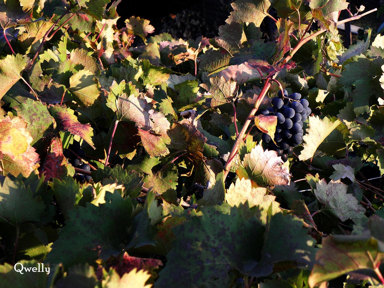 ვაზი, ვენახი, ვენახის ისტორია, მევენახოების მიმოხილვა, მევენახოების სახელმძღვანელო, ვაზი, ქველი, რთველი, qwelly, mevenaxeoba, mevenaxoebis saxelmdzgvanelo, vazi, wine, mevenaxoebis mimoxilva