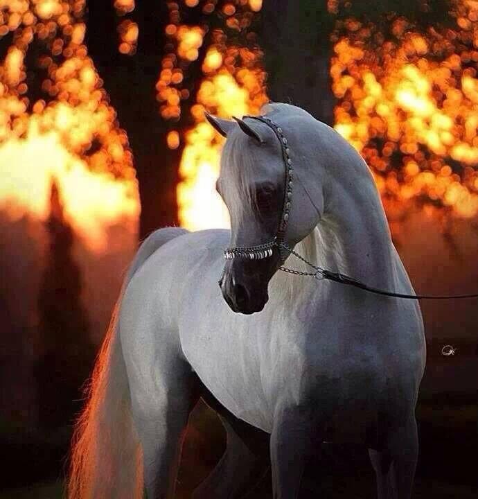 ორლოვის ჯიშის ცხენი